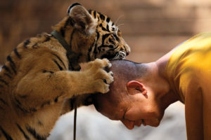 Buddhist monk plays with a tiger at the Wat Pa Luang Ta Bua, otherwise known as Tiger Temple, in Kanchanaburi province
